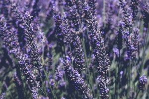 Looking After Your Lavenders